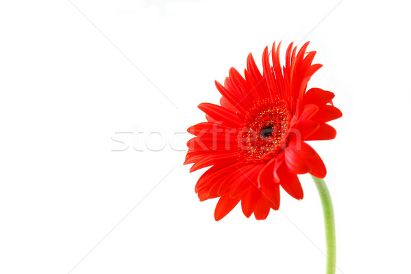 Red gerbera flower Stock photo © elenaphoto