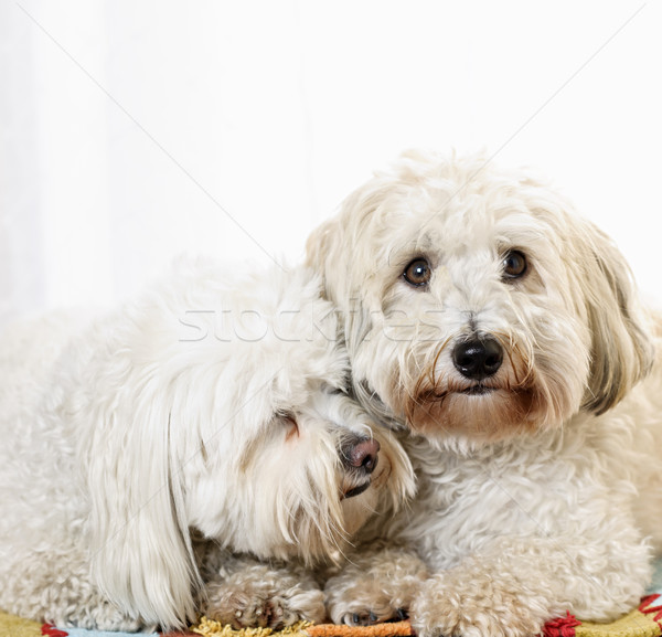 Two coton de tulear dogs Stock photo © elenaphoto