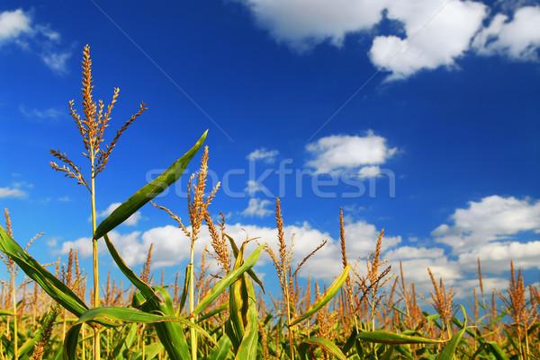 Stockfoto: Mais · veld · boerderij · groeiend · blauwe · hemel · hemel