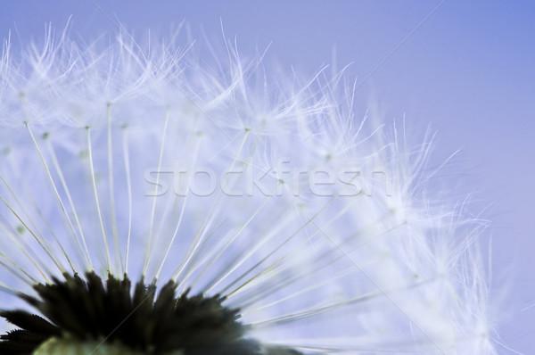 タンポポ マクロ 種子 青空 背景 青 ストックフォト © elenaphoto