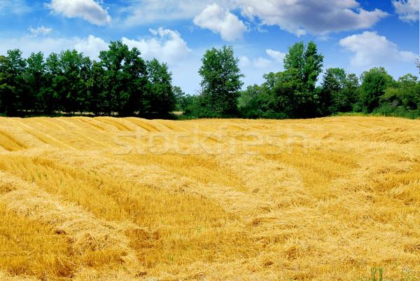 Harvested grain field Stock photo © elenaphoto