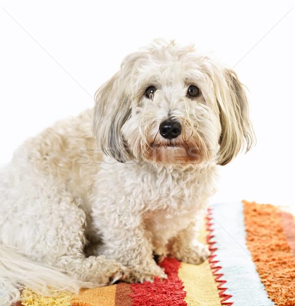 Cute dog on carpet Stock photo © elenaphoto