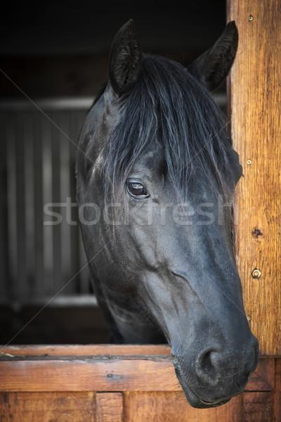 Ló istálló fej lövés fekete néz Stock fotó © elenaphoto