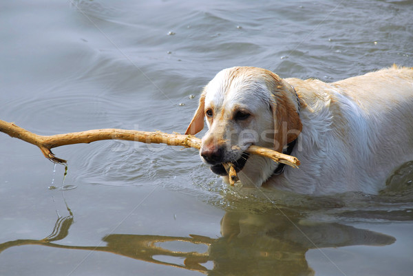 Dog swimming Stock photo © elenaphoto