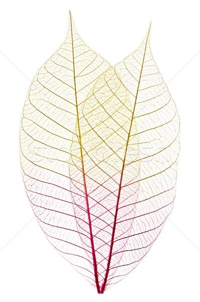 Esqueleto hojas primer plano secado goma árbol Foto stock © elenaphoto