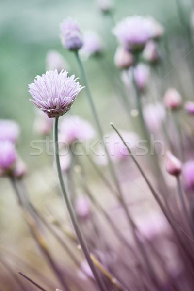 цветения Purple цветы саду весны Сток-фото © elenaphoto