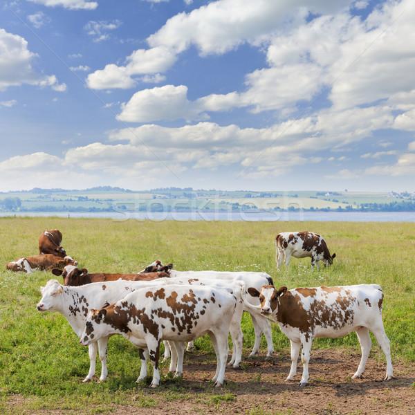 Vacas frescos hierba escénico Foto stock © elenaphoto