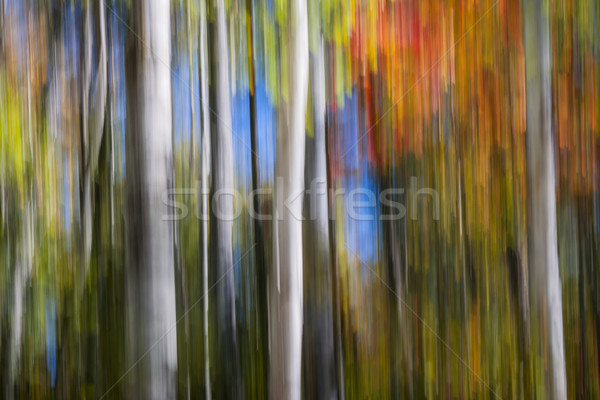 Birches in autumn forest Stock photo © elenaphoto