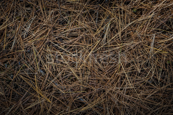 Pine needles on forest floor Stock photo © elenaphoto