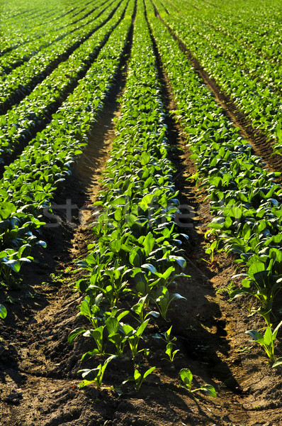 Rows of turnip plants in a field Stock photo © elenaphoto