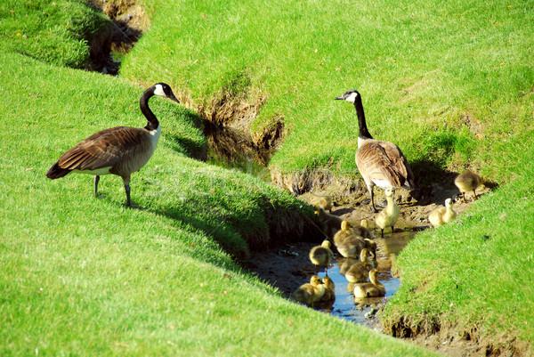 Goose family Stock photo © elenaphoto
