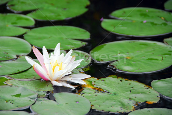 Water lily blooming Stock photo © elenaphoto