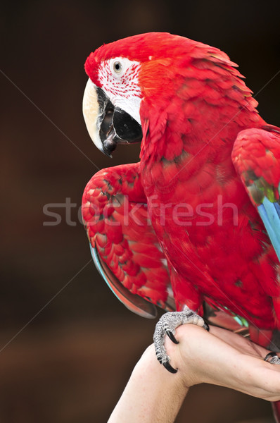 Scarlet Macaw Stock photo © elenaphoto