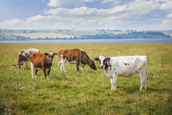 Cows in farm field Stock photo © elenaphoto
