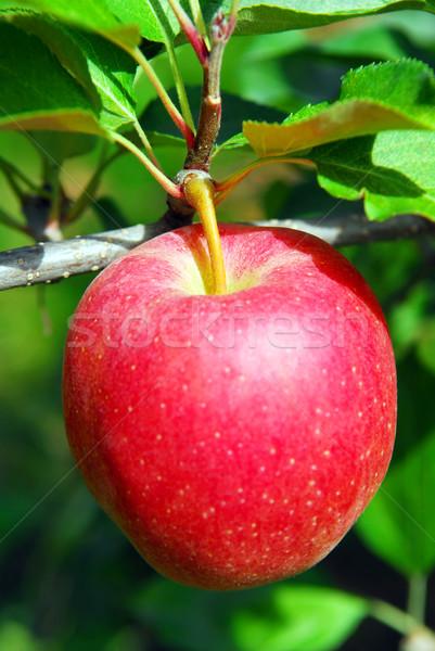 Stock foto: Apfelbaum · groß · voll · roten · Apfel · zunehmend