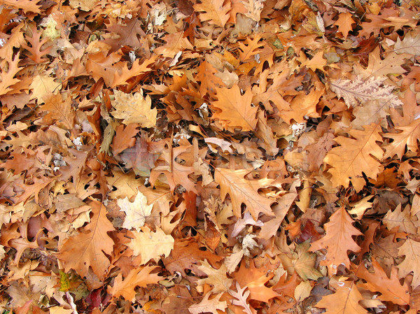 Fall oak leaves background Stock photo © elenaphoto