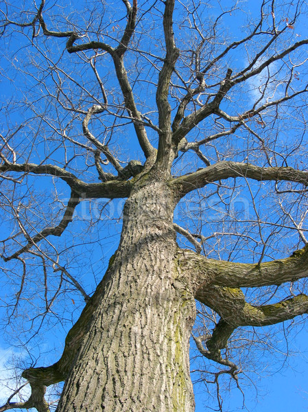 Oak tree in winter Stock photo © elenaphoto