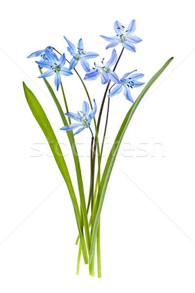 Gloria neve fiori fiori di primavera isolato bianco Foto d'archivio © elenaphoto