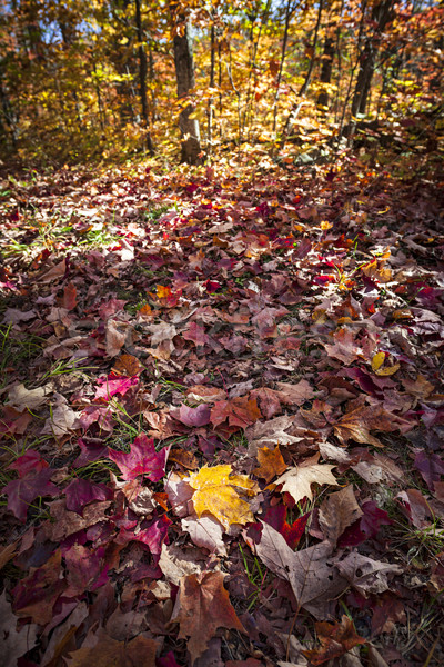 Stock photo: Fall forest floor with autumn maple leaves