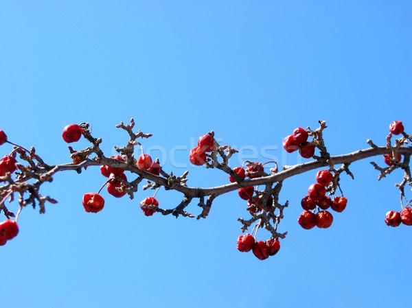 Crabapple tree branch Stock photo © elenaphoto