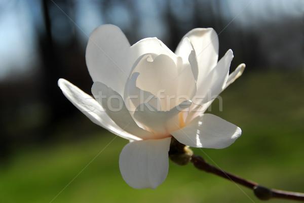 магнолия цветок цветы солнце свет Сток-фото © elenaphoto