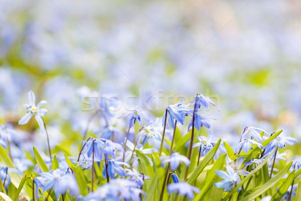 Primavera azul flores cedo cópia espaço texto Foto stock © elenaphoto