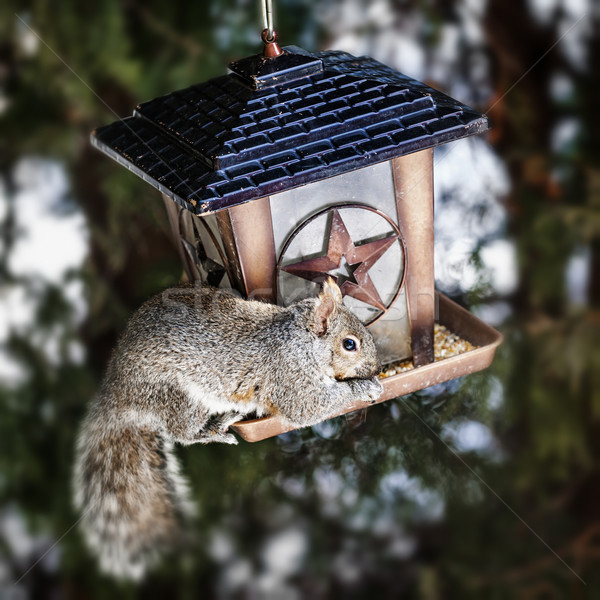 Squirrel stealing from bird feeder Stock photo © elenaphoto