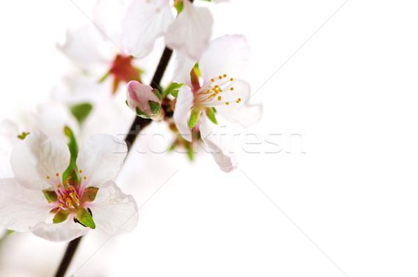 Photo stock: Rose · cerisiers · en · fleurs · macro · isolé · blanche