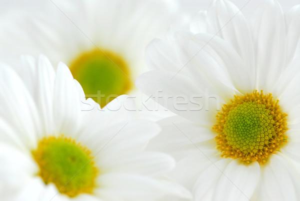 White daisies  Stock photo © elenaphoto