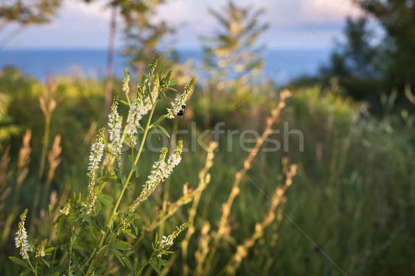 Foto stock: Pradera · flores · silvestres · abeja · sol · herboso