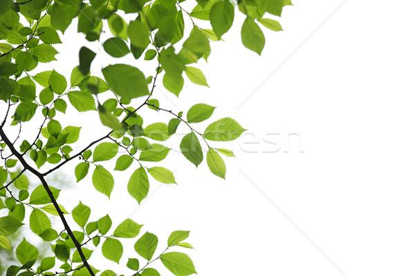 Stok fotoğraf: Yeşil · bahar · yaprakları · beyaz · yalıtılmış · doku