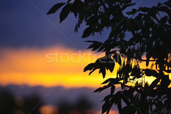 Stock fotó: Fa · sziluett · naplemente · ágak · levelek · színes