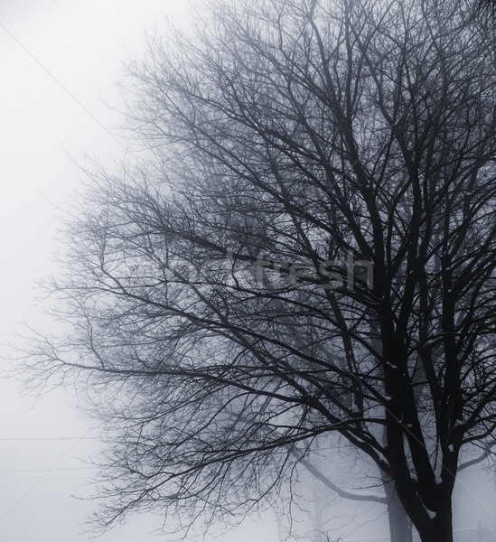 Leafless tree in fog Stock photo © elenaphoto