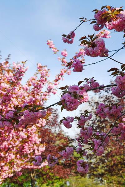 Boomgaard appelboomgaard roze bloesems voorjaar Stockfoto © elenaphoto