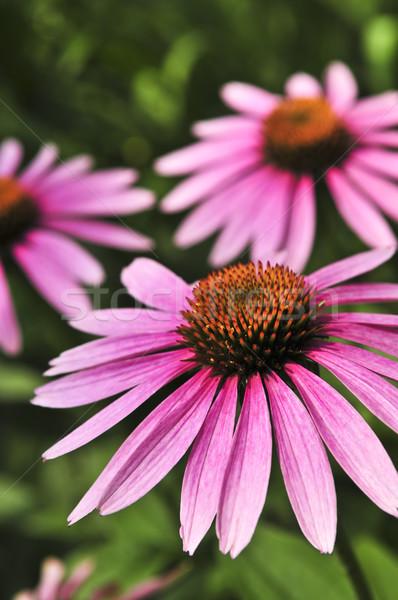 Echinacea purpurea plant Stock photo © elenaphoto