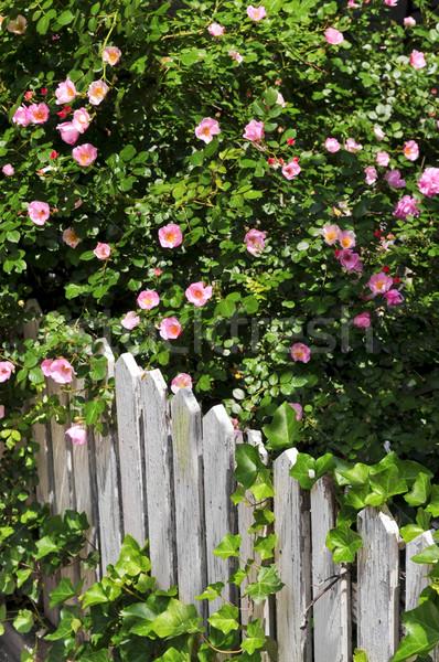 Сток-фото: саду · забор · роз · плющ · цветы
