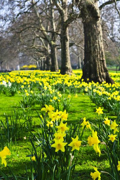 Daffodils in St. James's Park Stock photo © elenaphoto