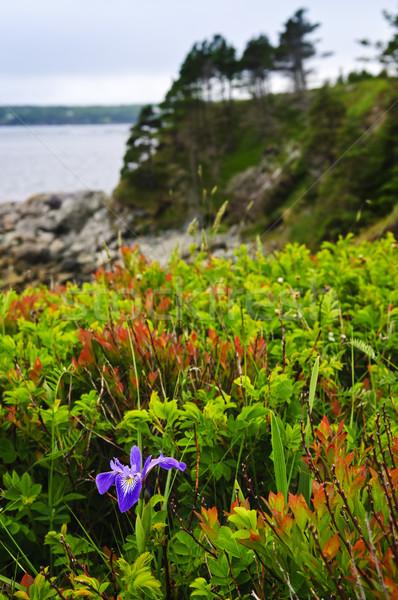 Zdjęcia stock: Niebieski · banderą · tęczówki · kwiat · wybrzeża · dziki · kwiat