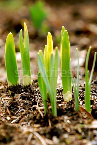 Spring shoots Stock photo © elenaphoto