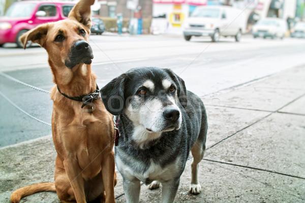 Dwa psów chodniku domowych czeka ulicy miasta Zdjęcia stock © elenaphoto