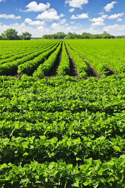 Rows of soy plants in a field Stock photo © elenaphoto