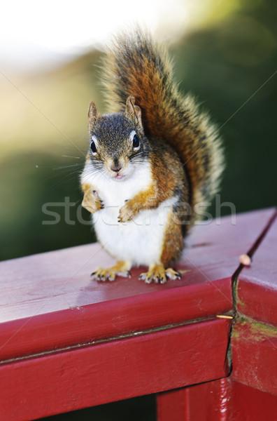 Red squirrel on railing Stock photo © elenaphoto