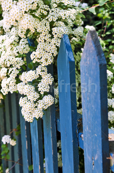 Blue fence with white flowers Stock photo © elenaphoto