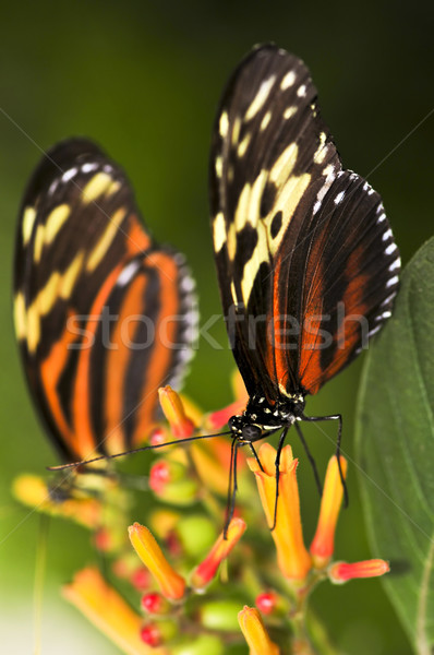 Large tiger butterflies Stock photo © elenaphoto