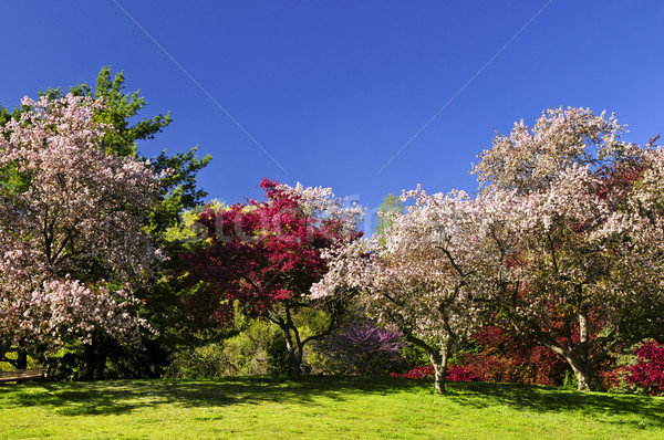 Blooming fruit trees in spring park Stock photo © elenaphoto