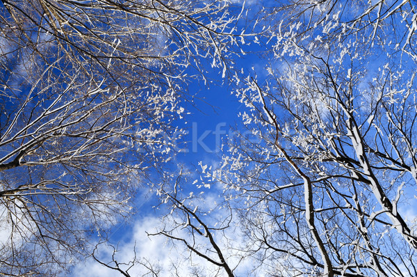 Winter trees and blue sky Stock photo © elenaphoto