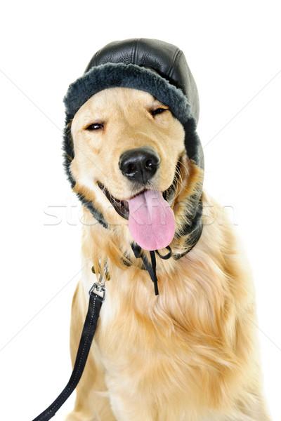Golden retriever dog wearing winter hat Stock photo © elenaphoto