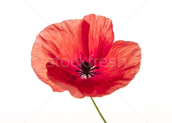 Red poppy flower Stock photo © elenaphoto