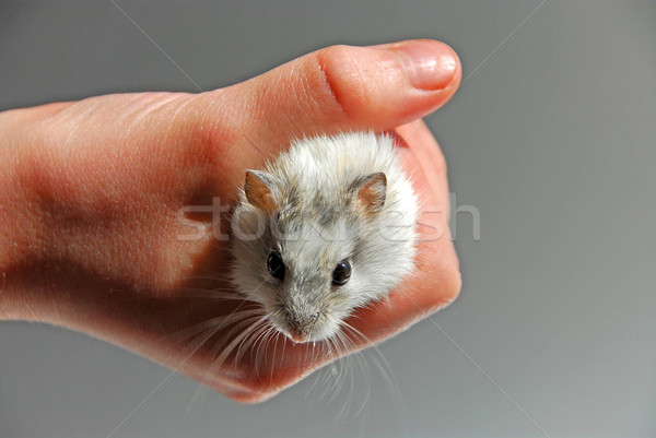 Hamster child hand Stock photo © elenaphoto