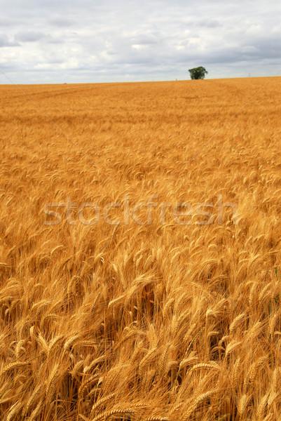 Stock fotó: Búzamező · mezőgazdasági · tájkép · arany · búza · növekvő